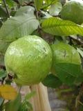 Mooie groene organische guave Royalty-vrije Stock Afbeelding