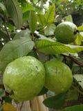 Mooie groene organische guave Stock Afbeelding