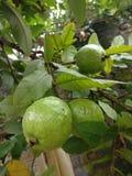 Mooie groene organische guave Stock Afbeeldingen