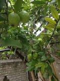 Mooie groene organische guave Stock Foto
