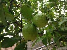Mooie groene organische guave Stock Foto's