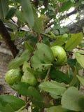 Mooie groene organische guave Royalty-vrije Stock Foto's