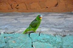 Mooie Groene Papegaai in Livingston-Dorp Guatemala royalty-vrije stock foto