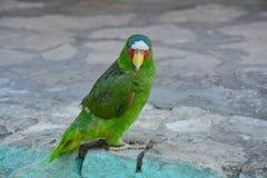 Mooie Groene Papegaai in Livingston-Dorp Guatemala royalty-vrije stock afbeeldingen