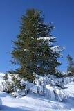 Mooie groene spar binnen aan sneeuw stock afbeeldingen