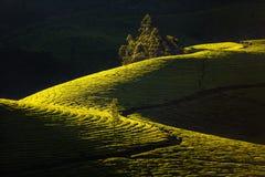 Mooie groene theeaanplantingen Royalty-vrije Stock Afbeeldingen