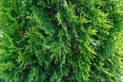 Mooie groene Thuja-boom dichte omhooggaand, geschotene macro, selectieve nadruk Het Thujatakje, Thuja-occidentalis is een altijdg royalty-vrije stock afbeeldingen