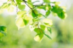 Mooie groene verse bladeren op boom Stock Foto
