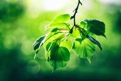 Mooie groene verse bladeren op boom Stock Afbeelding