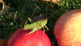 Mooie groene viridissima van sprinkhanentettigonia op rode appel in de herfst stock video