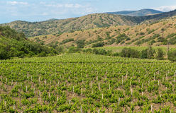 Mooie groene wijngaarden op gebieden in bergen van de Krim Stock Foto's