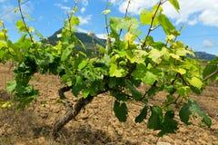 Mooie groene wijngaarden op gebieden in bergen van de Krim Stock Afbeeldingen