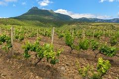 Mooie groene wijngaarden op gebieden in bergen van de Krim Royalty-vrije Stock Fotografie
