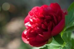 Mooie grote bloeiende rode die pioenbloem door de zon in de lente wordt aangestoken Stock Foto's