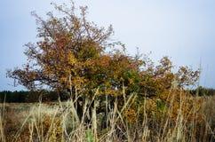 Mooie grote haagdoornboom met vruchten De achtergrond van de herfst Rode en oranje het bladclose-up van de kleurenKlimop royalty-vrije stock foto's