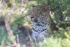 Mooie grote mannelijke luipaard die in aard de jacht lopen Stock Afbeelding