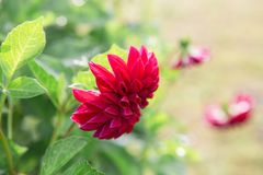 Mooie grote purpere bloem op groene vage achtergrond Stock Foto