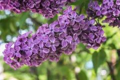 Mooie grote purpere sering bos van bloemenclose-up stock afbeeldingen