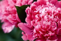 Mooie grote roze pioenen royalty-vrije stock foto's