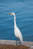 Mooie Grote Witte Aigrette royalty-vrije stock afbeelding