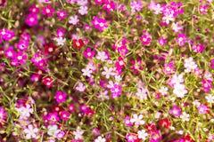 Mooie gypsophilabloemen, gypsophilabloemen voor achtergrond Stock Afbeeldingen