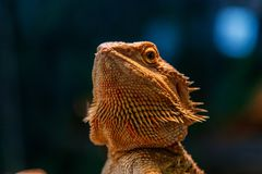 Mooie Hagedis Gebaarde Agama, Pogona vitticeps stock foto's