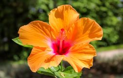 Mooie Hawaiiaanse hibiscus stock afbeeldingen