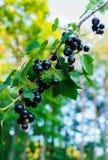 Mooie, heerlijke blackcurrant bessen op een tak stock foto