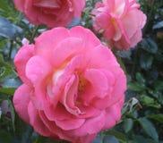 Mooie Heldere & Aantrekkelijke Roze Rose Flowers In Park Garden Vancouer, BC Canada stock afbeelding