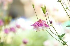 Mooie heldere aquilegia in tuin, close-up enkel Geregend royalty-vrije stock foto's