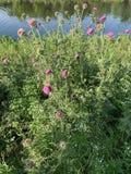 Mooie heldere fuchsiakleurig magenta en witte wilde bloemen stock fotografie
