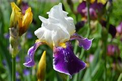 Mooie heldere iris wit-purple op groene achtergrond royalty-vrije stock foto