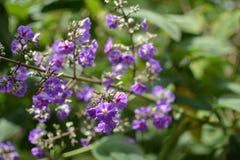 Mooie heldere lilac bloemen met een rood hart in Costa Rica royalty-vrije stock foto