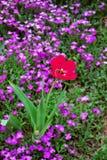 Mooie heldere rode tulpenbloem stock foto's
