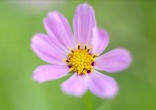 Mooie heldere roze bloemen die in de tuin groeien Close-up van roze bloemen met vage achtergrond Royalty-vrije Stock Foto's
