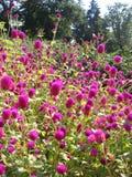 Mooie heldere roze bloemen op het bloembed in de tuin in de zomer in het Park grote boeket royalty-vrije stock fotografie