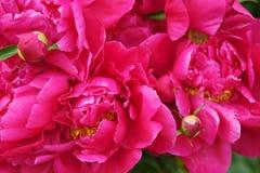 Mooie heldere roze pioenen in de de zomertuin royalty-vrije stock foto's