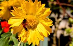 Mooie heldere zonnebloem Stock Foto's