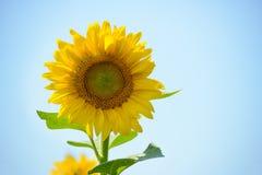 Mooie Heldere Zonnebloem tegen de Blauwe Hemel Stock Foto