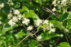 Mooie heldergroene boom met kleine witte bloemen Royalty-vrije Stock Foto