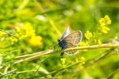 Mooie hemel blauwe vlinder op de weide van gele bloemen Royalty-vrije Stock Afbeeldingen