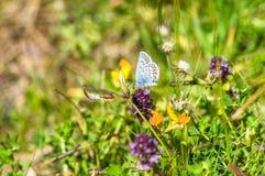 Mooie hemel blauwe vlinder op de weide van violette en gele bloemen Royalty-vrije Stock Afbeeldingen
