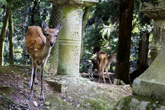 Mooie Herten in de heiligdommen van Nara Stock Afbeeldingen