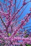 Mooie het bloeien sakura Cherry Blossom In Japan, symboliseert sakura de wolken toe te schrijven aan het feit dat vele kersenbloe royalty-vrije stock afbeelding