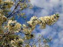Mooie het bloeien sakura Cherry Blossom In Japan, symboliseert sakura de wolken stock foto