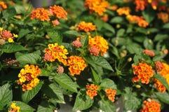 Mooie het Huilen lantanas in tuin. Stock Afbeelding