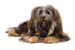 Mooie het liggen langharige Bichon Havanese hond Stock Fotografie