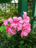 Mooie Hibiscus Royalty-vrije Stock Afbeeldingen