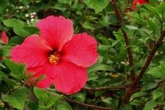 Mooie hibiscusbloem op aardachtergrond royalty-vrije stock fotografie