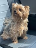 Mooie hond in auto stock foto